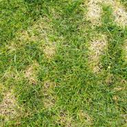 Lawn disease taking over a lawn.